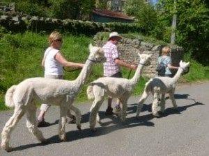 Alpaca trekking in the Yorkshire Dales