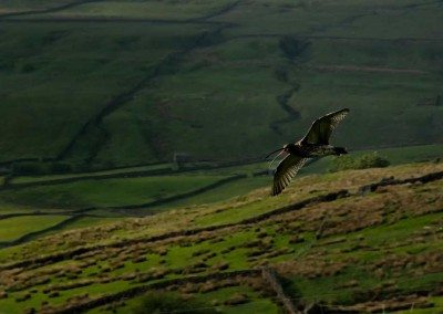 Curlew in full flight over the meadow - Dieter Figge Mohr at Swaledale Country Holidays