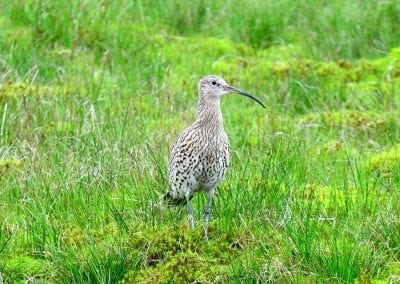 Curlews are plentiful in the Yorkshire Dales