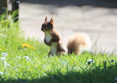Red squirrels can be found in the Dales